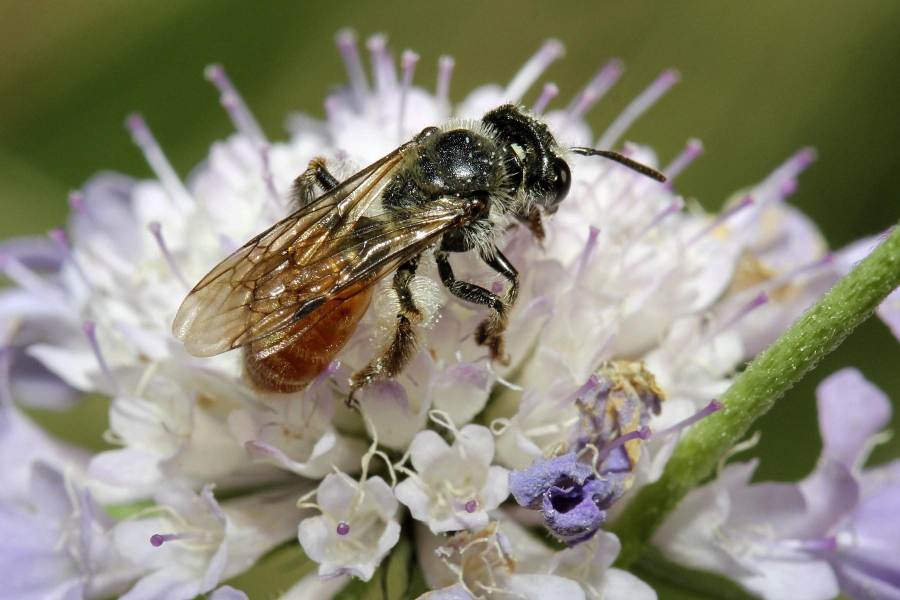 03_Skabiosen-Sandbiene-Andrena-marginata