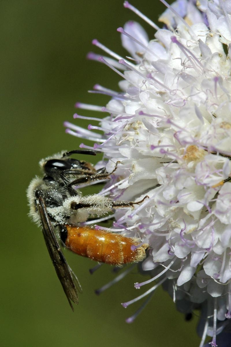04_Skabiosen-Sandbiene-Andrena-marginata