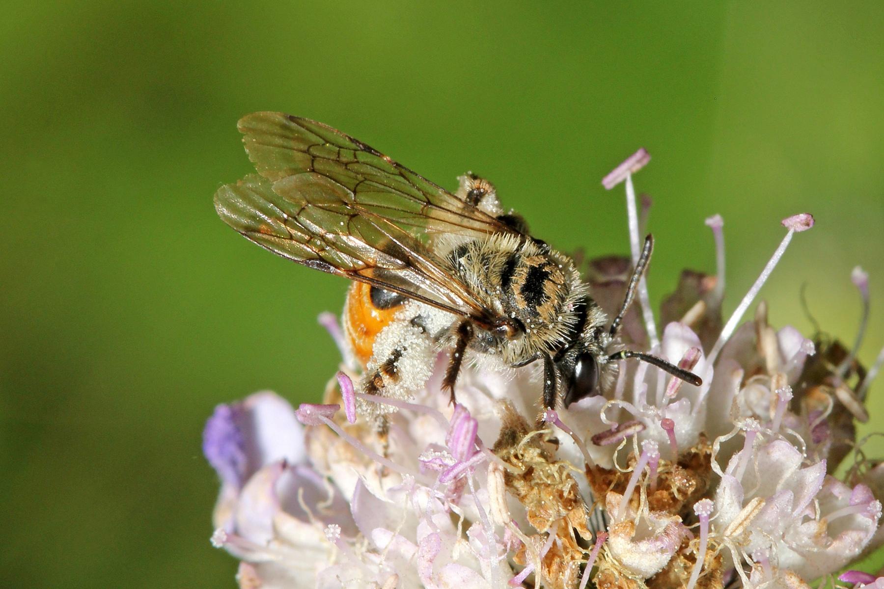 05_Skabiosen-Sandbiene-Andrena-marginata