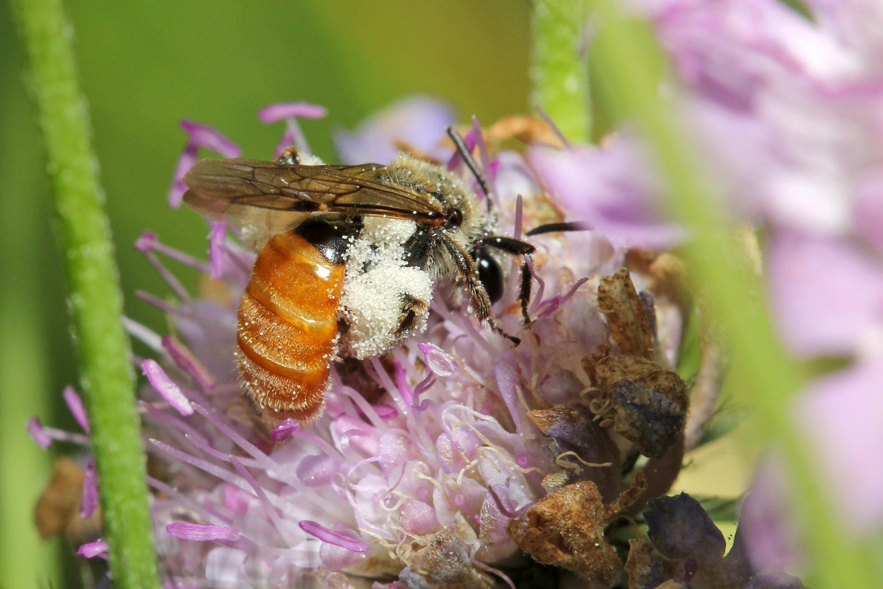 06_Skabiosen-Sandbiene-Andrena-marginata